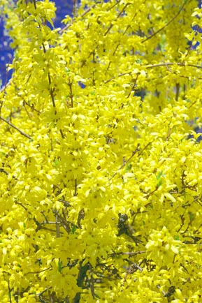 Forsythia in full bloom (c) S.Yates