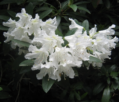 White rhododendron bloom © Ricky Yates