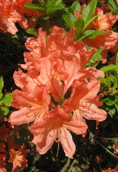 Orange rhododendron bloom © Ricky Yates