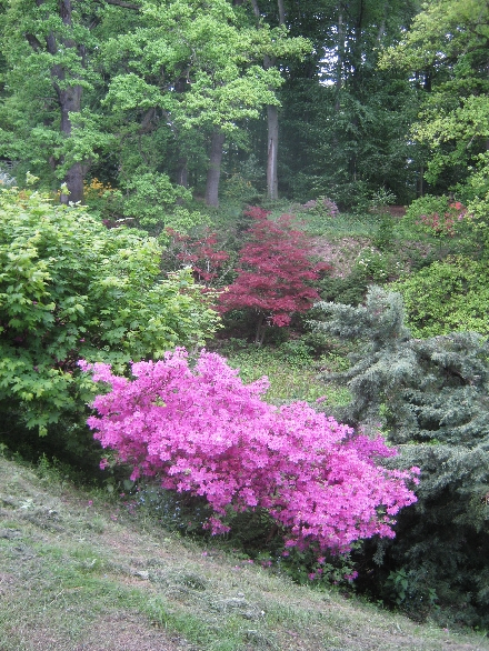 Pink & red rhododendrons © Ricky Yates