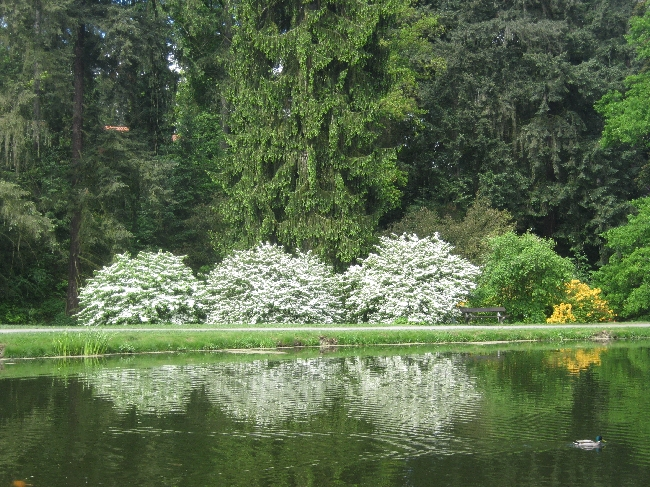White rhododendrons reflected in the lake © Ricky Yates