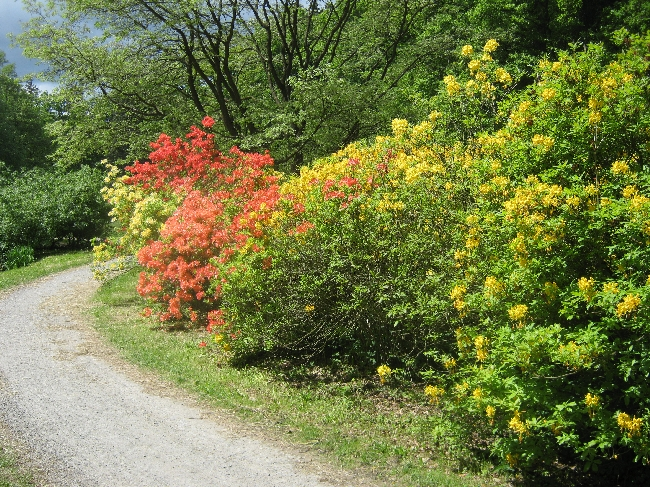 Red & yellow rhododendrons © Ricky Yates