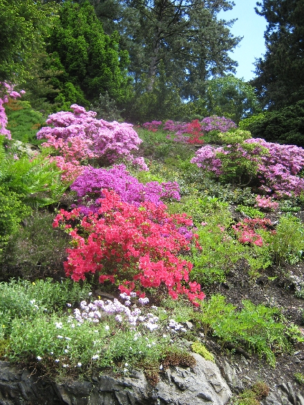 Rockery with rhododendrons © Ricky Yates