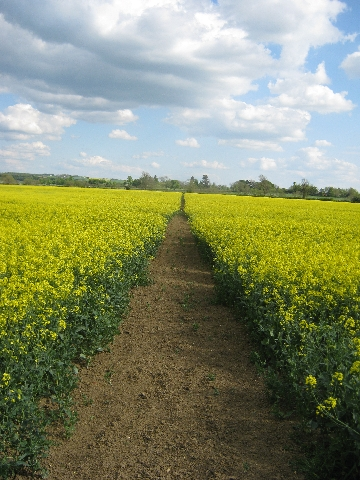 My  path through a field of flowering oil seed rape © Ricky Yates