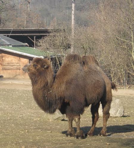 Bactrian Camel © Ricky Yates