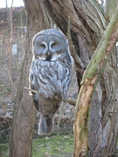 Great Grey Owl © Sybille Yates