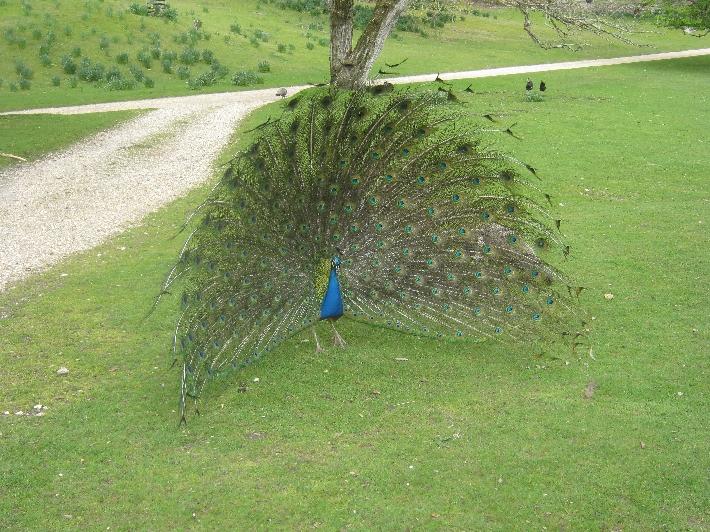Peacock © Ricky Yates